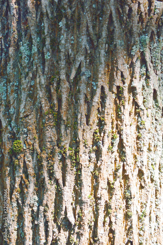 Tree bark texture full frame in nature. Texture shot of brown tree bark, filling the frame. Tree bark background texture.  - 220828866