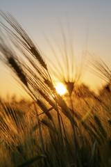 Ears of Wheat or Barley at Golden Sunset or Sunrise © Darren Baker