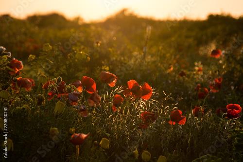 Fototapeta poppy field in the morning