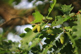 Green acorns on the oak tree in the early autumn forest