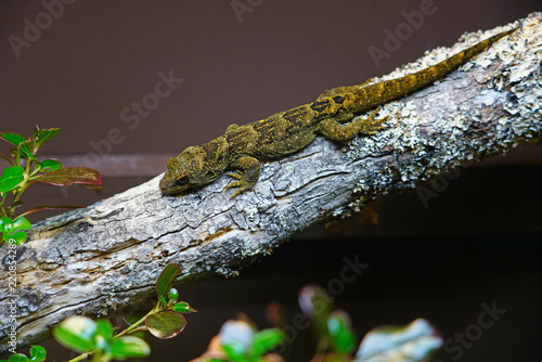 View of a live Tuatara (Sphenodon punctatus) on a branch, a dinosaur reptile
