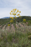 Dill in Andalusien, Spanien - 220859037