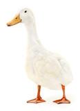 Duck on white. - 220863698