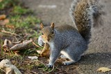 Portrait of a grey squirrel in the park - 220865449