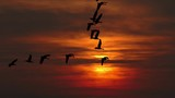 Flying flock of geese silhouetted against dramatic sunset sky, slow motion.