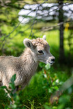 Baby Mountain Goat in the grass - 220884477