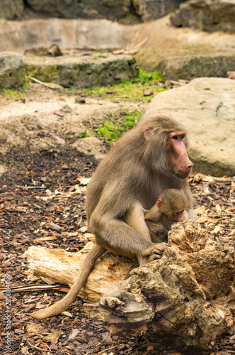 Fototapeta Mother and Baby Baboon vert