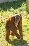 Orangutan Vert - 220886259