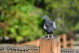 Pigeon on watch standing on a wood fence post, selective focus, pasture and trees in background