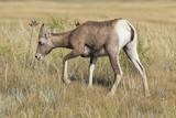 Female Bighorn sheep (Ovis canadensis) - 220892606