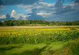 Field of sunflowers under clouds - 220893603