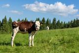 A young cow on a mountain pasture, Pieniny Mountains, Poland