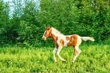 Beautiful bay foal run gallop on spring green pasture - 220921855