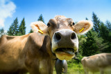Cow close up view