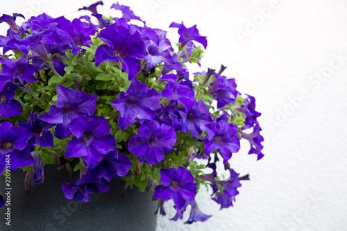 A bright petunia flowers on the summer garden. - 220931414