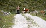 Begegnung in den Bergen.Mann mit Hütehund auf einem Schotterweg im Gebirge trifft auf eine Kuh