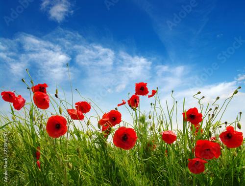 Fototapeta Red poppies on field