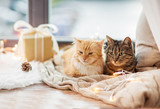 pets, christmas and hygge concept - two cats lying on window sill with blanket and present at home - 220941886