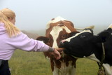 Friends. 2 cows leeking the hand of a longhaired girl