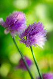Purple Chives flowers isolated on green blur background. - 220953263