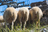 Funny Flock of sheep in the meadow in the Alps - 220957035