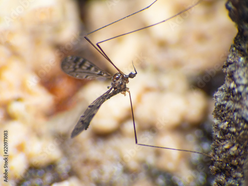 Aedes aegypti Mosquito Macro  a Mosquito sucking human blood in Asia Thailand. - 220971083