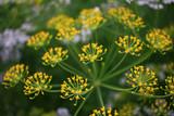 Flower of dill in the garden - 220976005