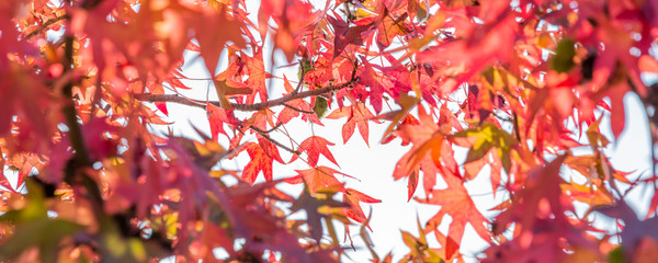 Autumn maple leaves, looking up in a forest in autumn © Delphotostock