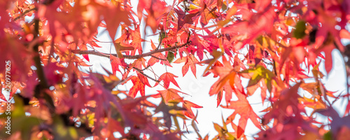 Autumn maple leaves, looking up in a forest in autumn