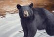 Young black bear