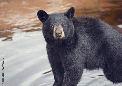 Young black bear - 220989265