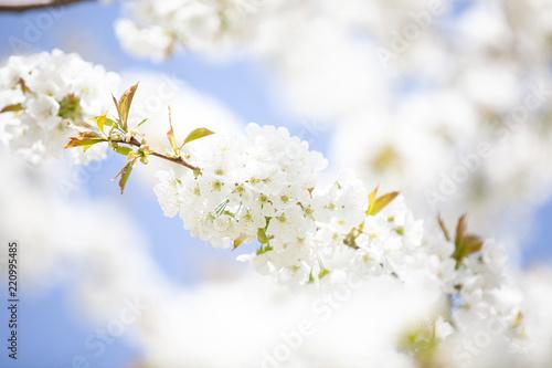 Fototapeta Apfelblühte