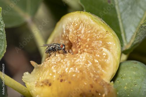 Fliege frisst Feigenfruchtfleisch - 220996659