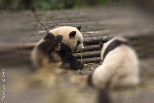 Fototapeta panda sits in the forest