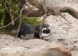 pinguini cucciolo e genitore  - 221017206