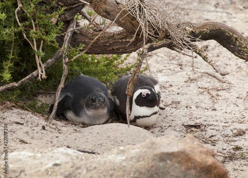 Foto Murales pinguini cucciolo e genitore