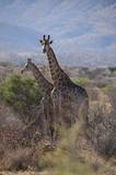 Giraffen - Namibia - 221027644