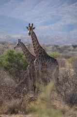 Giraffen - Namibia