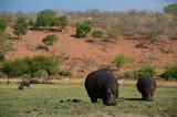 Flusspferd im Chobe-NP - Botswana - 221028440