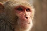 Wilder Affe in Rajastan - Indien - 221033610