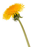 Dandelion flower isolated on white background cutout - 221034495