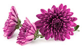 Lilac chrysanthemum flower isolated on white background - 221036074