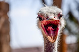 A ANGRY OSTRICH  - 221042826
