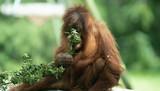 orangutan  - 221047627