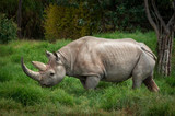 Black rhinoceros - 221058881