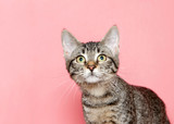 Portrait of an adorable tabby kitten with yellow eyes looking up above viewer to viewers left, pink background with copy space. - 221066296