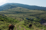 Barns and cows in the mountains. Countryside farming. - 221067843