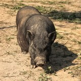 A pig walks in the street digs a brown earth - 221071039