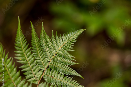 The tip of an isolated fern frond shot with shallow depth of field.