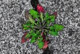 Löwenzahnpflanze in einer Fuge zwischen Steinplatten - 221075467